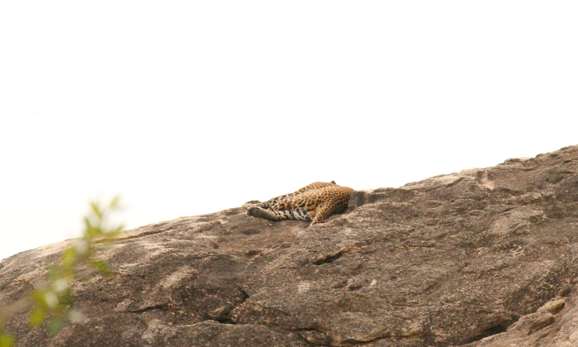 Sneaky Leopard